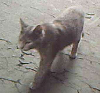 tartan-graycat