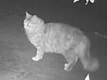 tartan-longhaircat