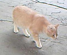 tartan-orangecat